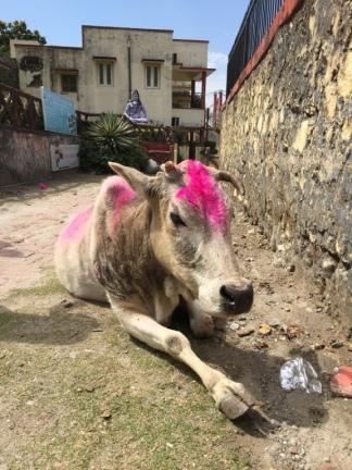 Holi Cow!